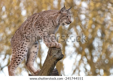 Eurasian Lynx perched on tree trunk surveying area/Lynx/Eurasian Lynx - stock photo