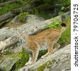 Eurasian lynx photographed posing on a rock in Borås Djurpark (zoo) in Sweden during summer time. - stock photo
