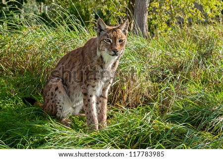 Eurasian Lynx Sitting in Long Grass in Afternoon Sunshine - stock photo