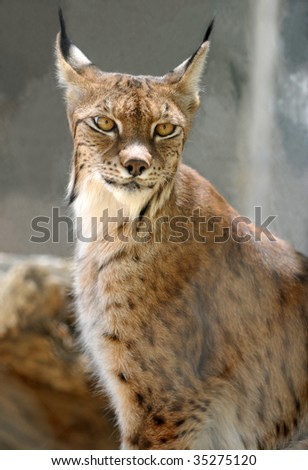 eurasian lynx staring at camera - stock photo