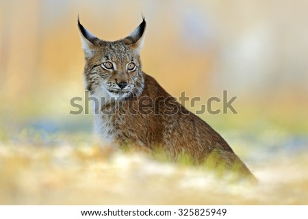 Eurasian Lynx, wild cat on snow meadow in winter - stock photo