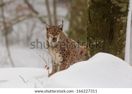 Eurasian lynx with tongue out of mouth - stock photo