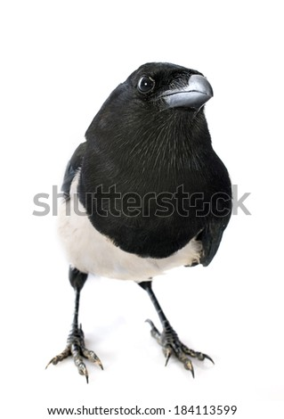 Eurasian Magpie in front of white background