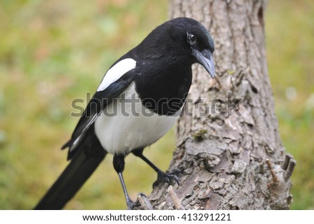 Eurasian magpie looking for food - stock photo