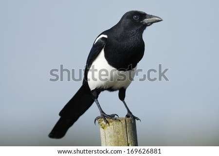 Eurasian Magpie (Pica pica) perched on a Fence Post - stock photo