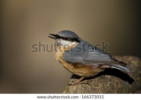 Eurasian Nuthatch, Germany