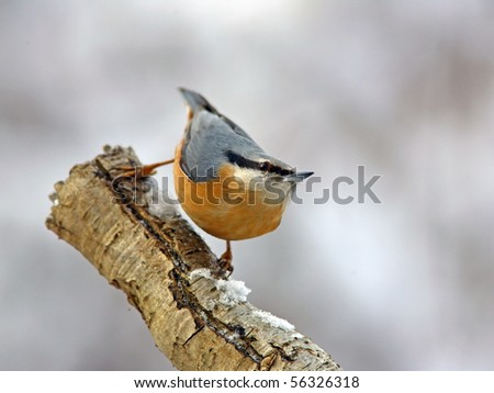 Eurasian Nuthatch on a snowy trunk