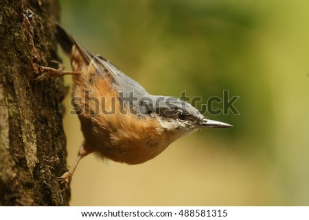 Eurasian nuthatch on the bark of the tree