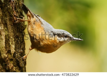 Eurasian nuthatch portrait typical pose