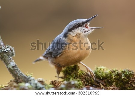 Eurasian nuthatch with open beak - stock photo