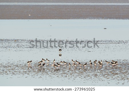 Eurasian Oystercatchers in wadden sea in Holland - stock photo