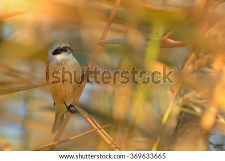 Eurasian Penduline-Tit (Remiz pendulinus) sutting on the reed with colorful background.