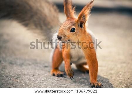 Eurasian red squirrel - stock photo