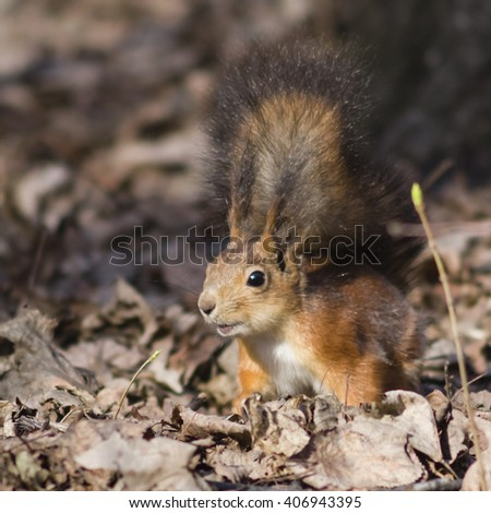 Eurasian Red Squirrel close-up portrait, selective focus, shallow DOF - stock photo