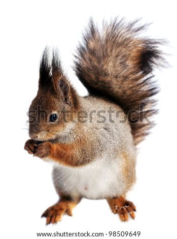 Eurasian red squirrel in front of a white background - stock photo