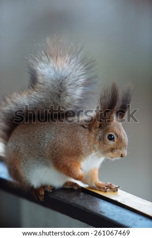 Eurasian red squirrel on the balcony
