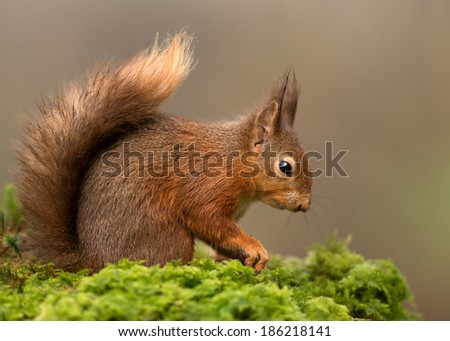 Eurasian red squirrel (Sciurus vulgaris) in Scottish Forest