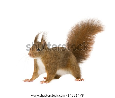 Eurasian red squirrel - Sciurus vulgaris (2 years) in front of a white background - stock photo