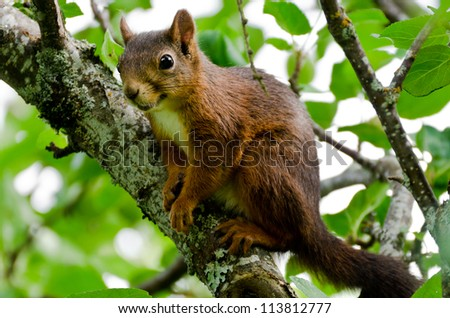 Eurasian red squirrel sitting in a tree
