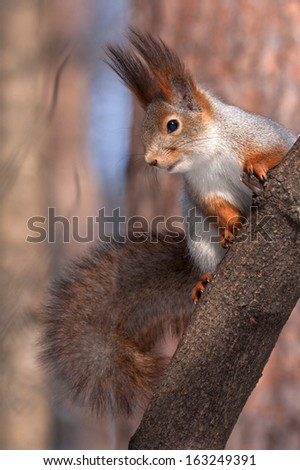 Eurasian red squirrel sitting on the tree - stock photo