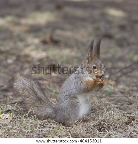 Eurasian red squirrel with nut in mouth portrait on dry leaves  - stock photo