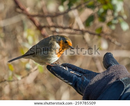 Eurasian Robin on hand, about to take seed. - stock photo