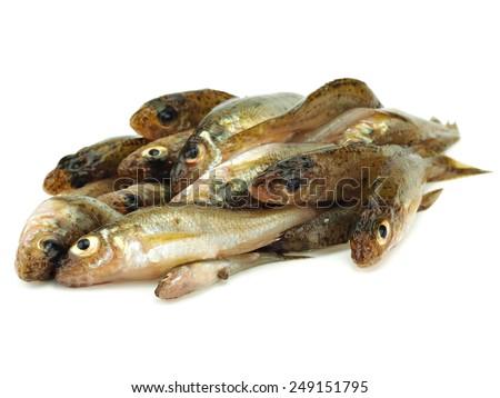 Eurasian Ruffe (Gymnocephalus cernuus) freshwater fish on a white background - stock photo