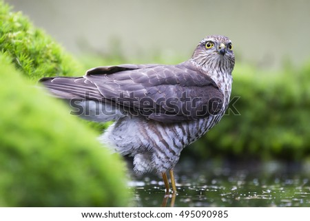 Eurasian sparrowhawk (Accipiter nisus) in the Netherlands