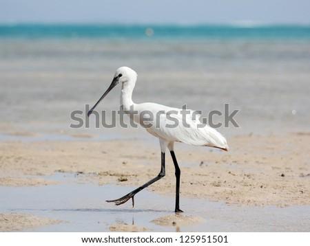 Eurasian Spoonbill walking - stock photo