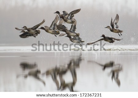 Eurasian Teal or Common Teal  / Anas crecca in flight - stock photo