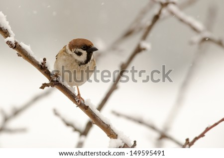 Eurasian Tree Sparrow (Passer montanus) sitting in a tree in winter time - stock photo
