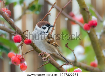 Eurasian tree sparrow sitting in a snow covered apple tree