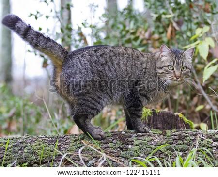 Eurasian wildcat Felis silvestris - stock photo