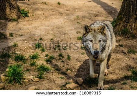 Eurasian wolf a subspecies of the Grey Wolf native to Russia and Eastern Europe. This one is in Hungary.