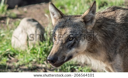 Eurasian wolf (Canis lupus lupus) during summer in scandinavia