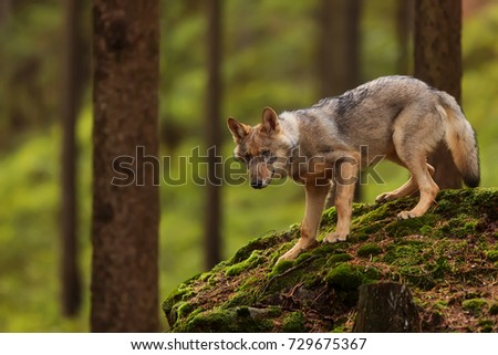 https://thumb7.shutterstock.com/display_pic_with_logo/270727/729675367/stock-photo-eurasian-wolf-go-down-from-stones-729675367.jpg