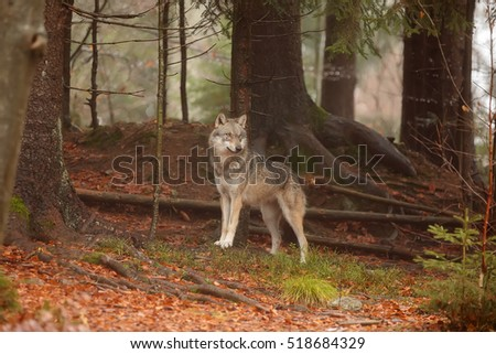 Eurasian wolf in the dark forest
