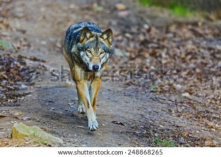 Eurasian wolf is coming - stock photo