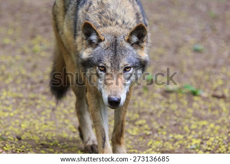 Eurasian wolf look to strait - stock photo