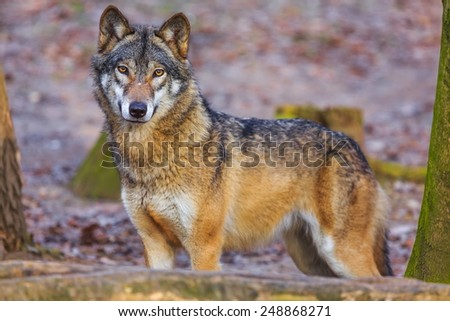 Eurasian wolf looking at you - stock photo