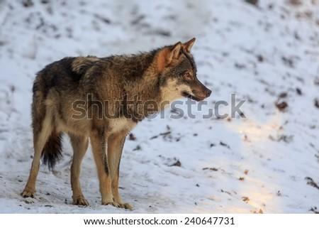 Eurasian wolf something closely monitoring - stock photo