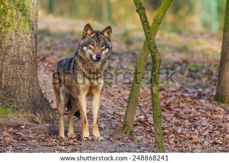 Eurasian wolf very attentive - stock photo