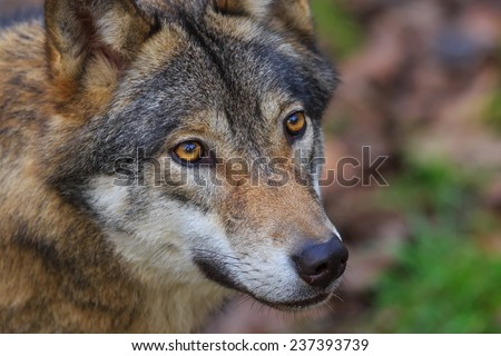 Eurasian wolf very close up - stock photo