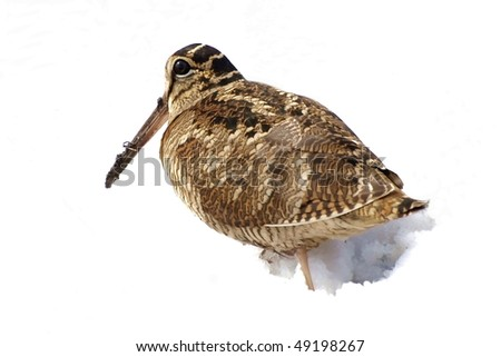 Eurasian Woodcock isolated on white background,  Scolopax rusticola - stock photo