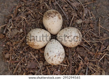 Eurasian woodcock (Scolopax rusticola) nest with eggs - stock photo