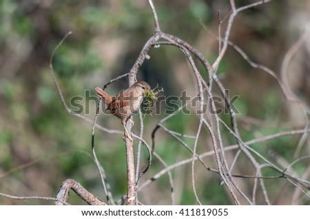 Eurasian wren carrying building material for its nest - stock photo