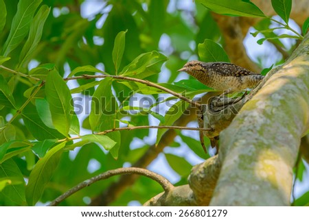Eurasian Wryneck (Jynx torquilla) - stock photo