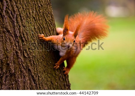 Euroasian red squirrel - stock photo