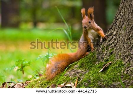 Euroasian red squirrel - stock photo