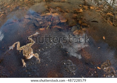 Europaean common frog (Rana temporaria), mating in early spring, wide angle. Liguria. Italy.